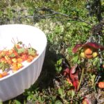 Traditional Newfoundland Bakeapple Picking and Preserving